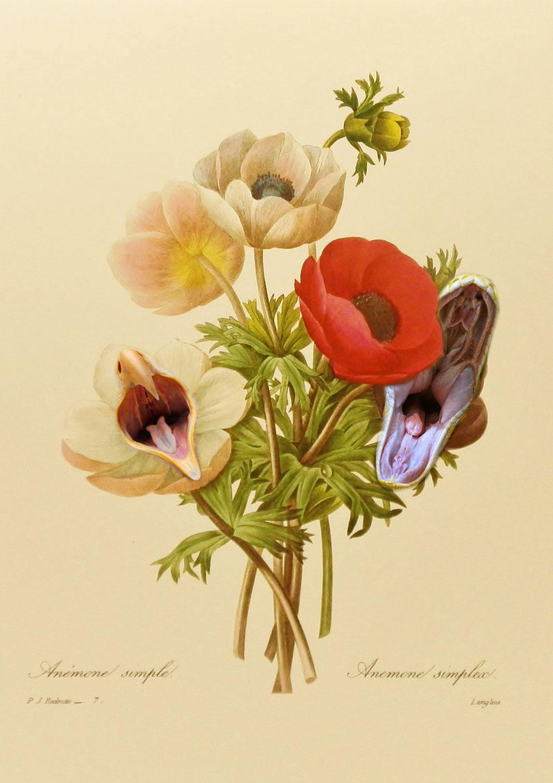 poppy_anemone_conny_habbel.jpg